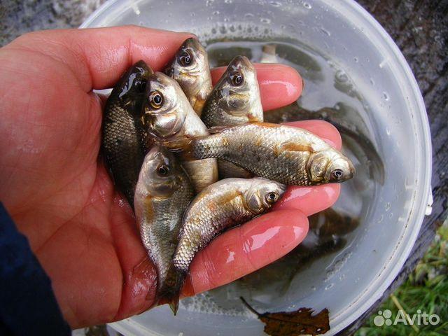 купить живца для рыбалки в спб красногвардейский район