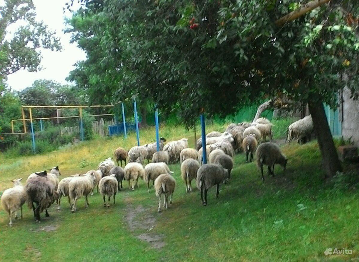 Овцы в Курчатове - фотография № 4