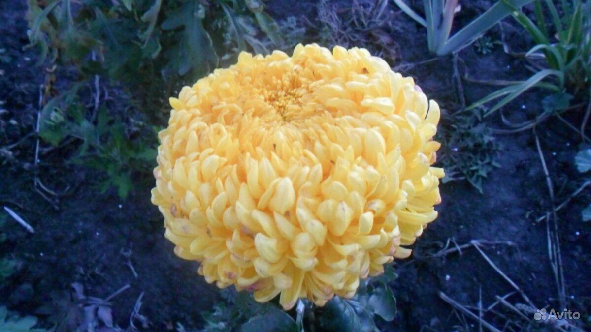 Хризантемы купить на Зозу.ру - фотография № 4