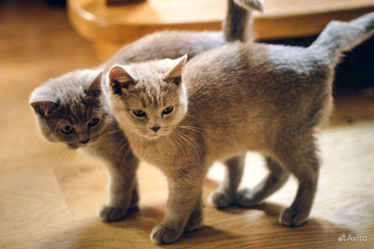 Британские чистокровные котики