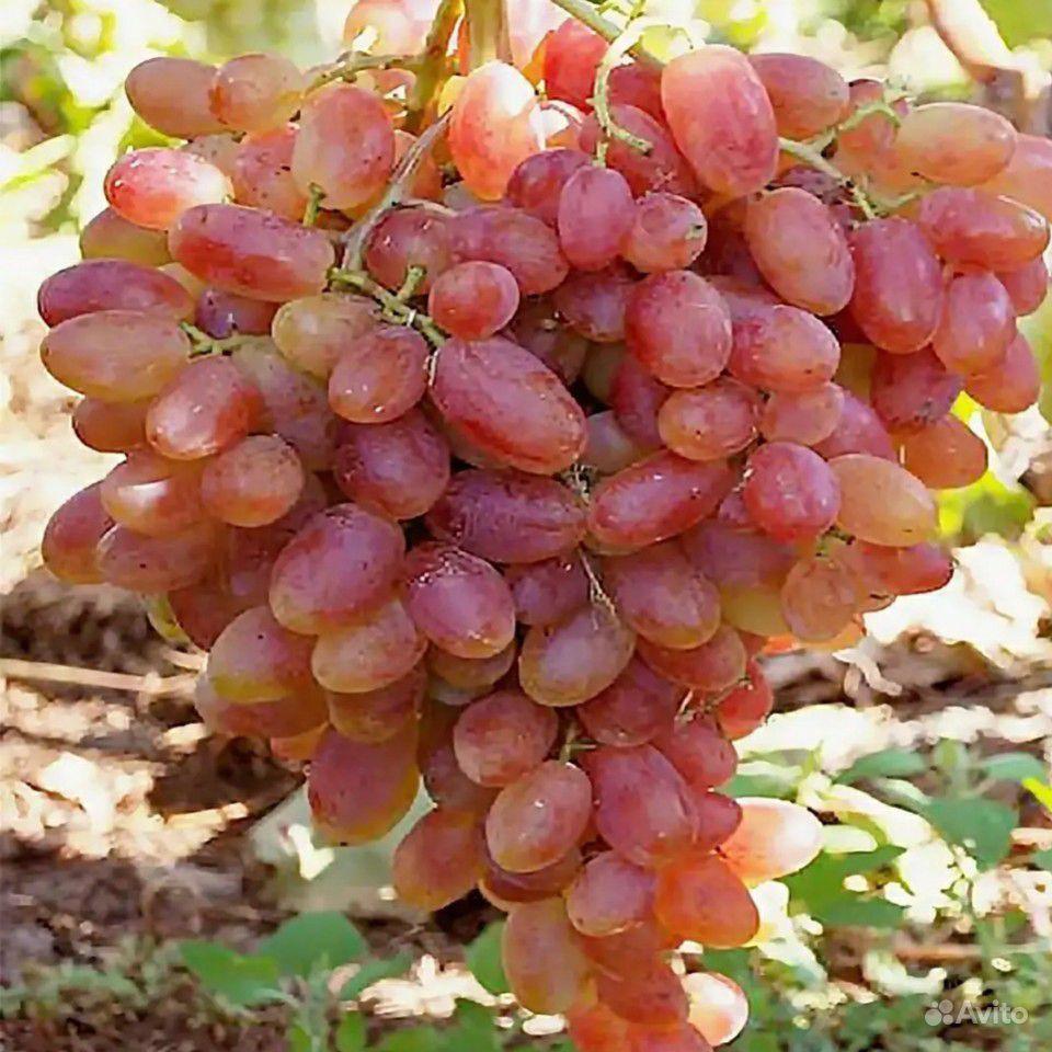 Саженцы винограда малины клубники ежевики смородин купить на Зозу.ру - фотография № 1