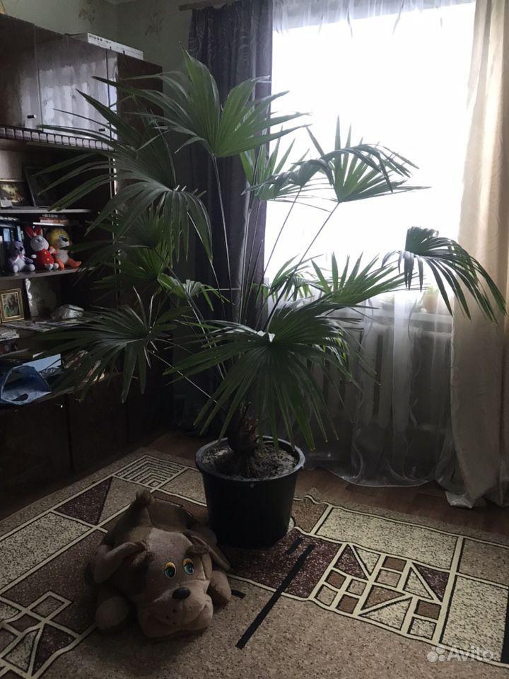 Пальма купить на Зозу.ру - фотография № 2