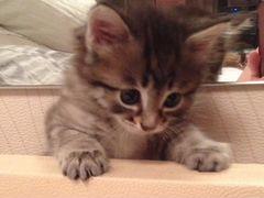 У кого купить котенка курильского бобтейла в воронеже частные объявления частные объявления о продаже авто кемерово
