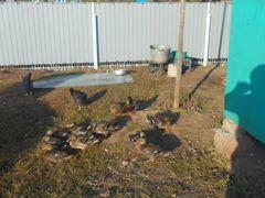 Утки подсадные