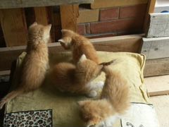 Котятки мышеловы