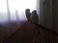 Продаю попугаев мальчика и девачку имена белая Ева
