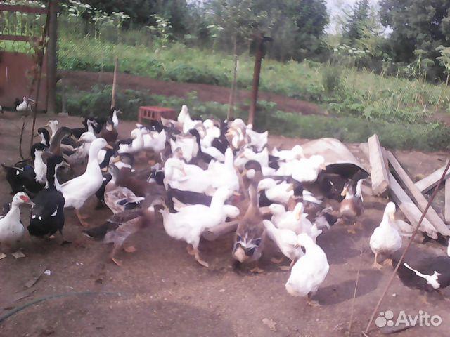 Мускусная утка купить в ярославской области