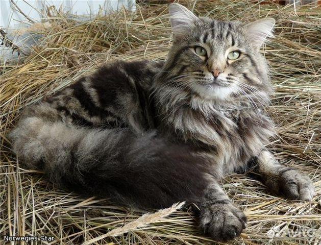 Ирландская лесная кошка фото