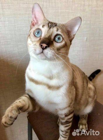 Бенгальский кот купить краснодар