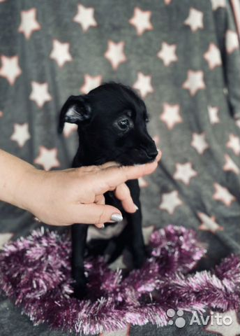 Ксолоитцкуинтли (пух ) мексиканская голая собака купить на Зозу.ру - фотография № 2