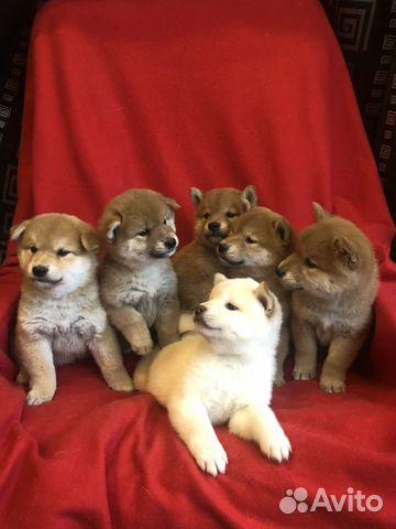 Предлагаем породистых щенков Сиба-Ину купить на Зозу.ру - фотография № 10
