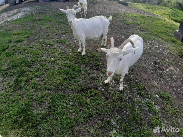 Коза молочная 89174305061 купить 6
