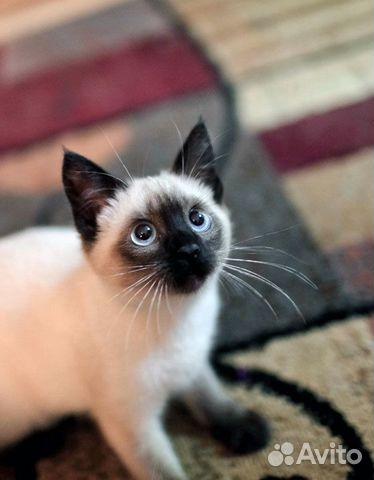 Сиамские коты и кошки купить 3