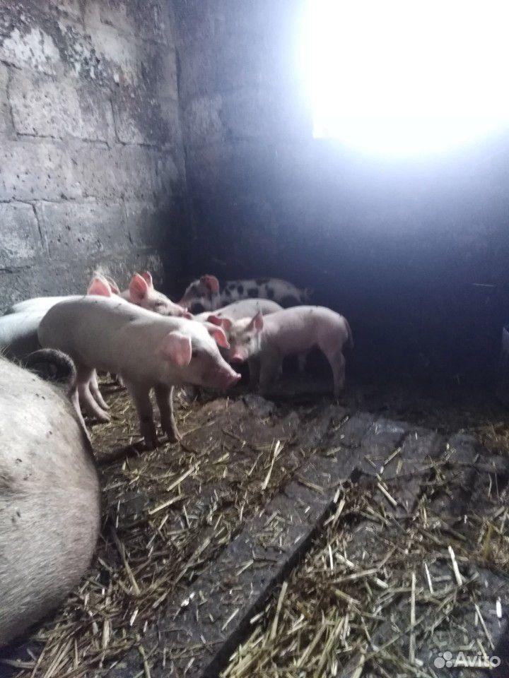 Sell pigs  89207000633 buy 5