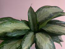 Аглаонема сортовая черенки — Растения в Москве