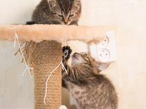 Домашние котята-рысята в любящий дом