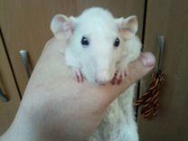 Продаем крысят и их родителей