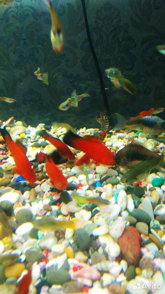 Аквариумные рыбки 89059167622 купить 1