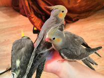 Птенцы кореллы ручные из гнезда от говорящего папы