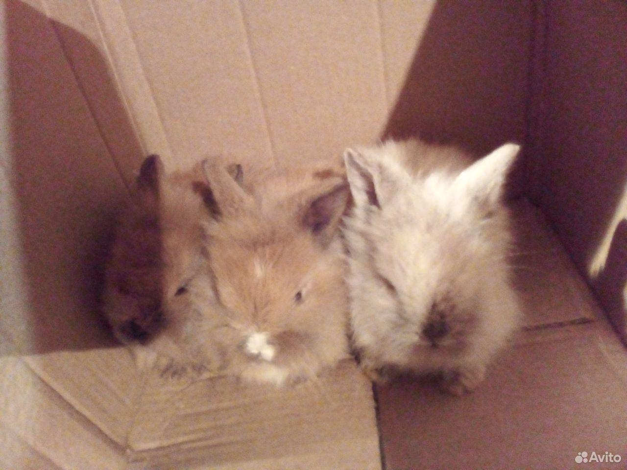 Декоративные крольчата  89038907589 купить 4