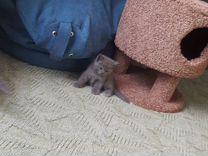 Продам котят шотландские голубые прямоухие