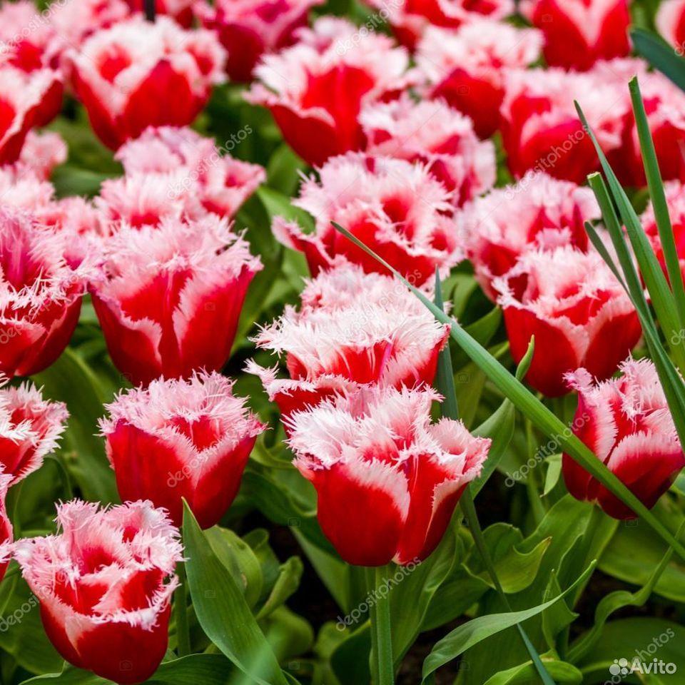 Тюльпаны  89092263980 купить 1
