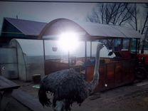 Обмен страусихи